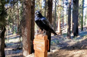 raven on mariposa grove trail sign